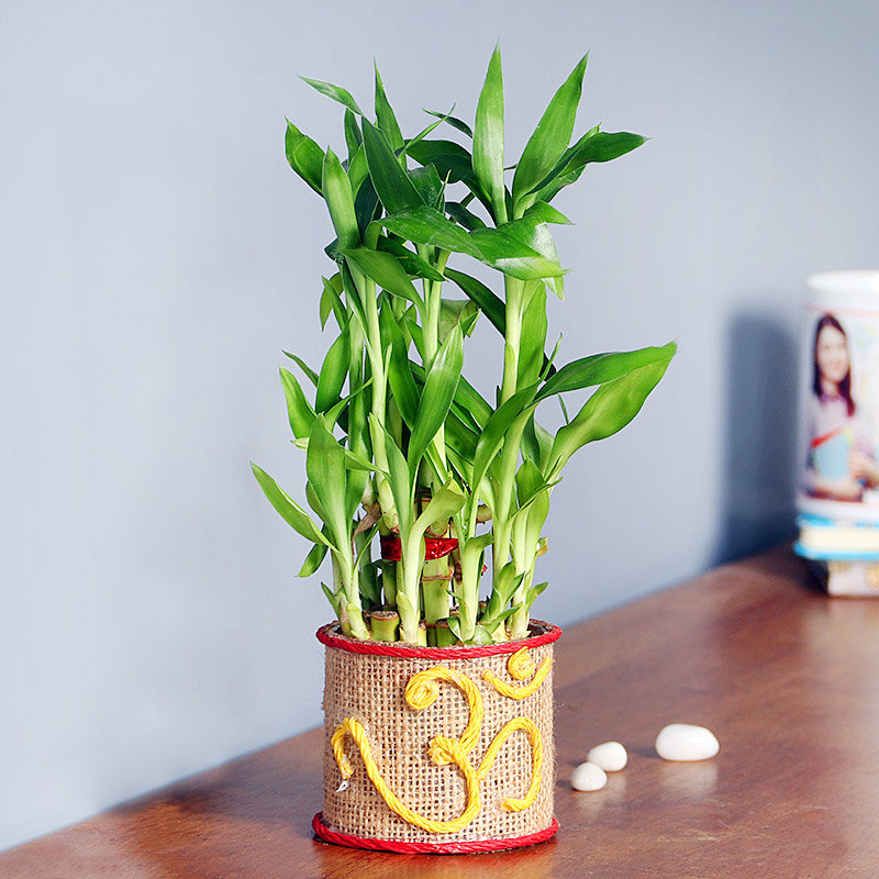 Serendipitous Bamboo - Good Luck Plant Indoors with OM Printed Round Jute Glass Vase