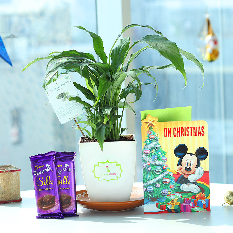 Silky Christmas Combo - Air Purifying Plant Indoors in Chatura Vase with Christmas Greeting Card and 2 Dairy Milk Silk