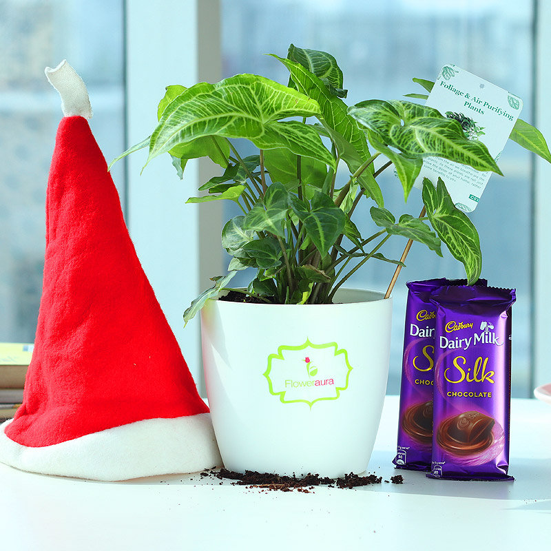Silky Santa Wishes - Foliage Plant Indoors in Rhonda Vase with Christmas Cap and 2 Dairy Milk Silk