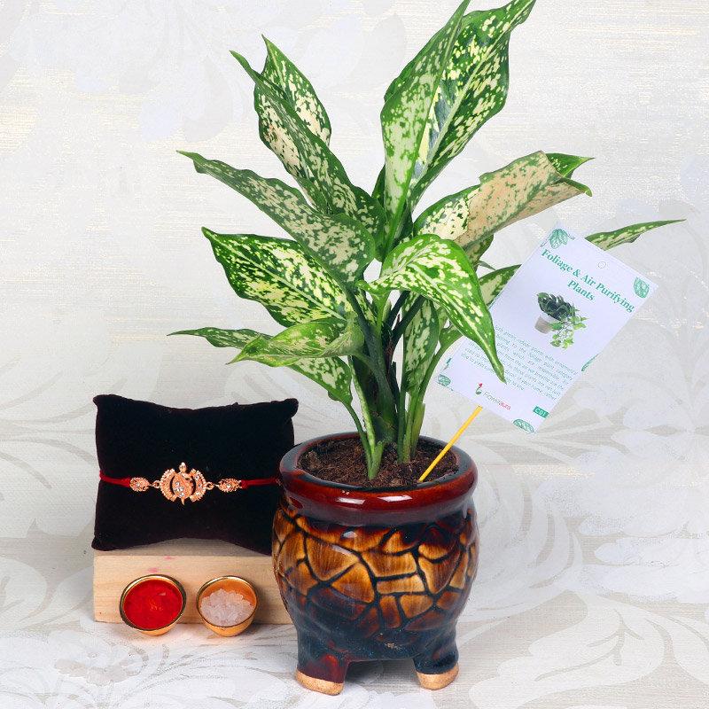 Silver Aglaonema With Designer Rakhi - One Designer Rakhi with Air Purifying Plant in Three Leg Antique Vase