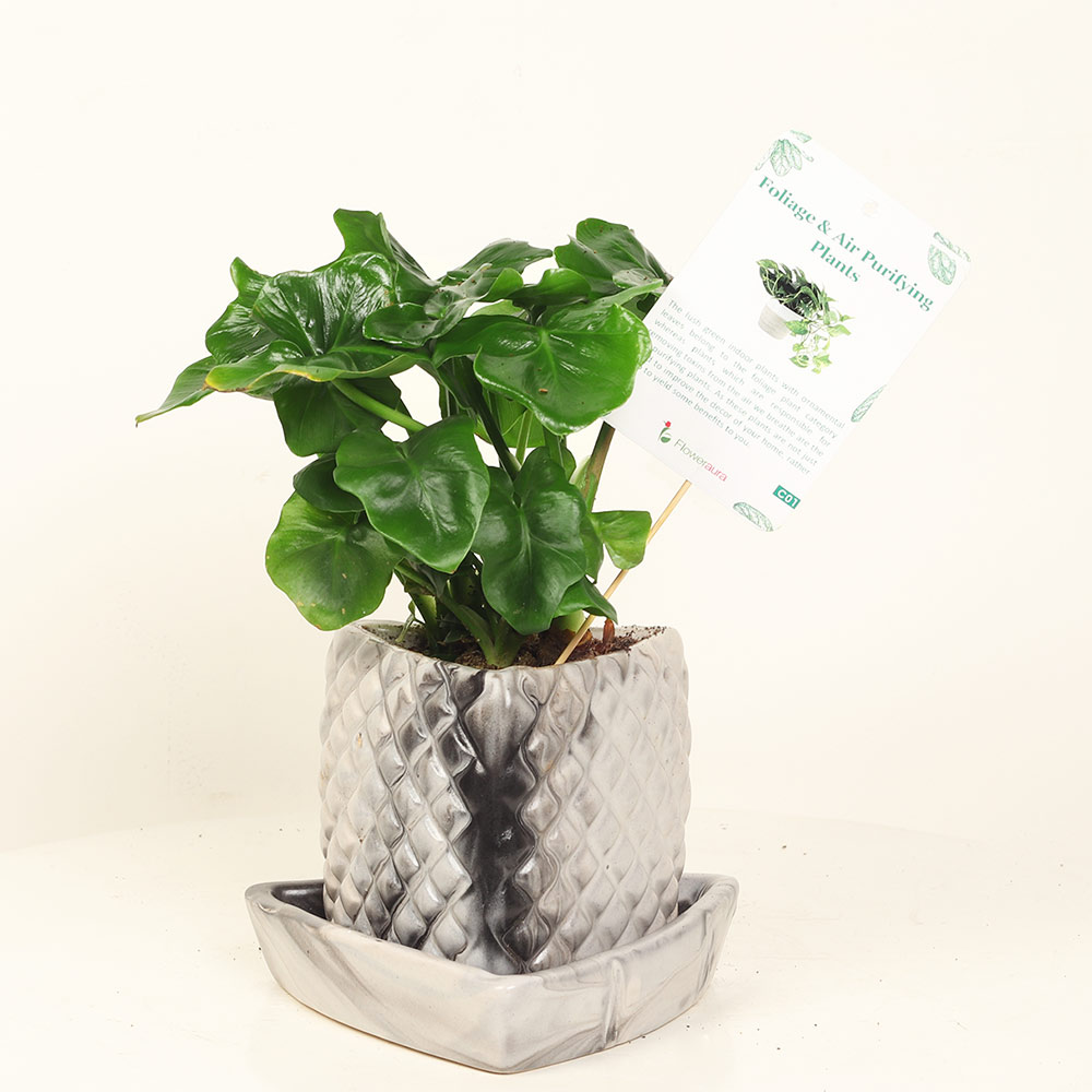 Silver Curly Plant - Foliage Plant Indoors in Traingular Vase with Tray