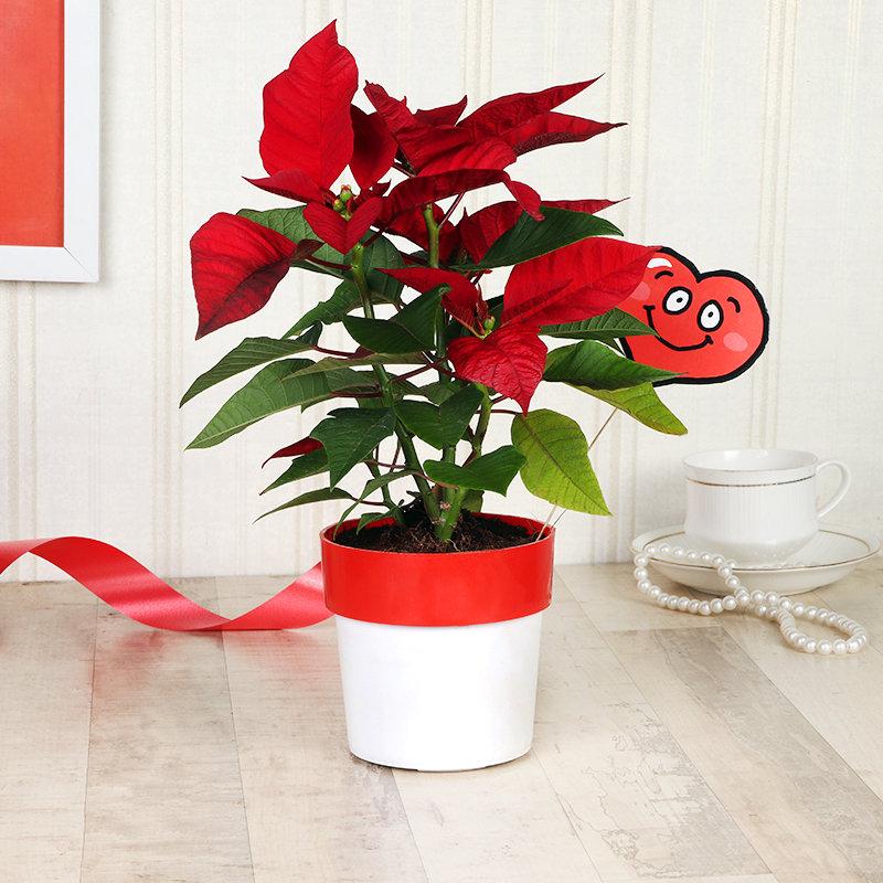 Smiley Poinsettia Plant Combo