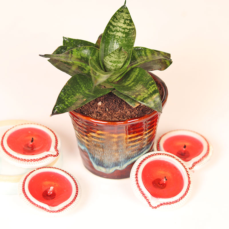 Snake Plant With Four Diwali Diyas