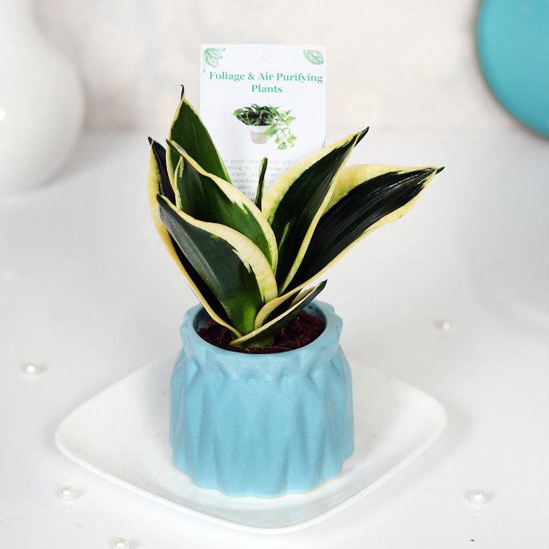 Soothing Sensveria Milt Plant