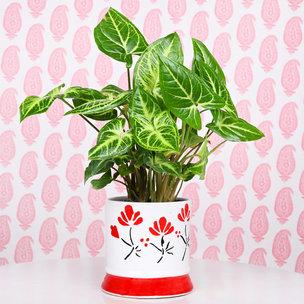 Soothing Syngonium Plant