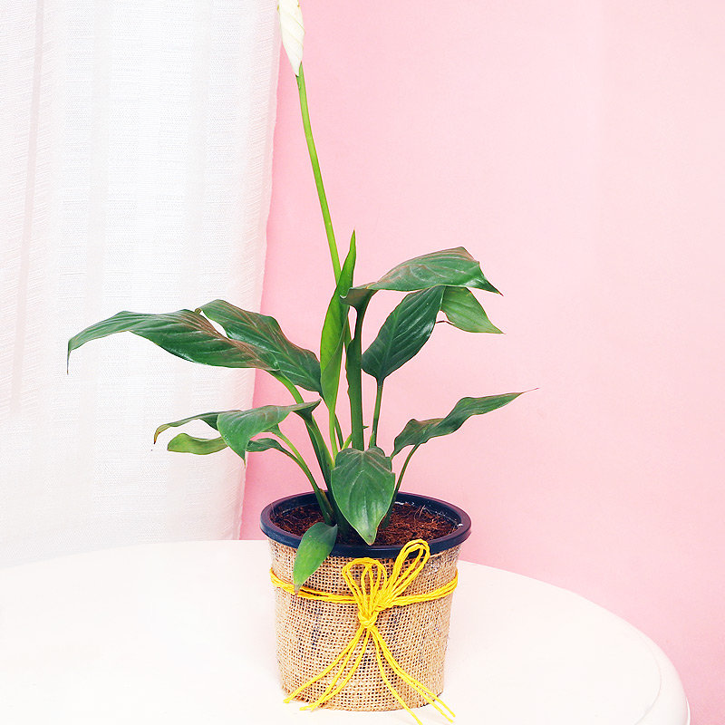 Peace Lily Plant in a Vase Wrapped with Jute