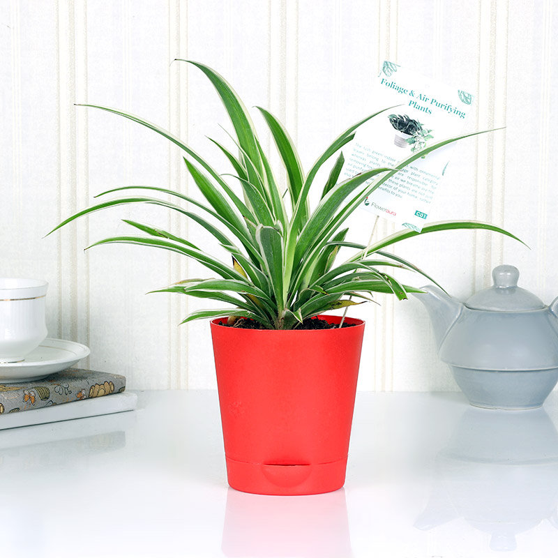 Soulful Spider Plant