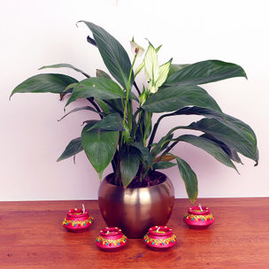Spathe Flower - Air Purifying Plant Indoors in Orchid Mid Vase Set of 4 Diyas