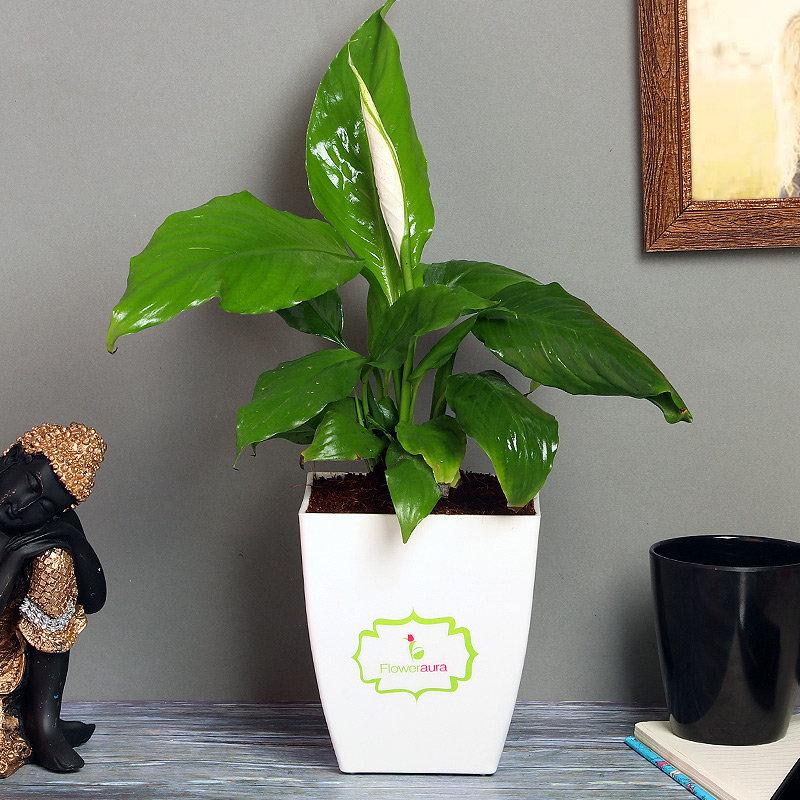 Spathiphyllum Plant in White Vase