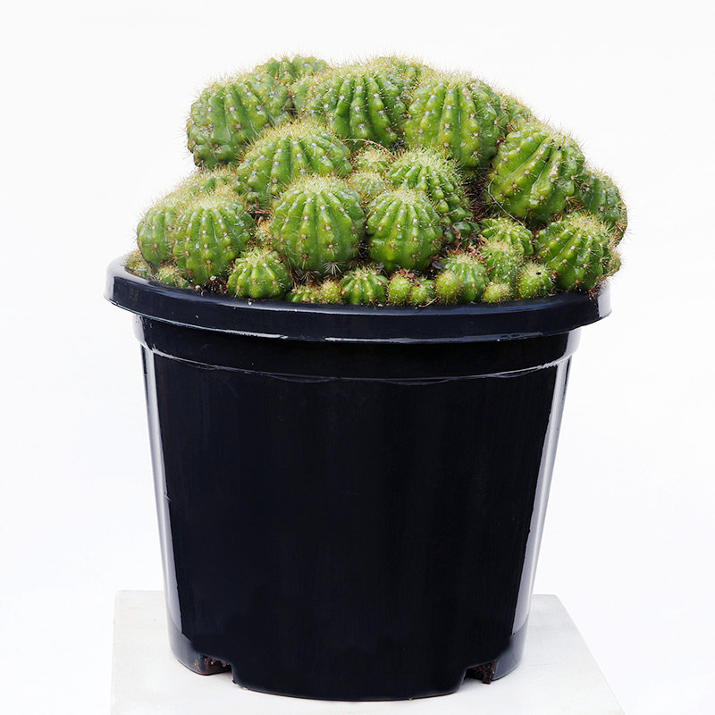 Spectacular Cactus With Black Basket