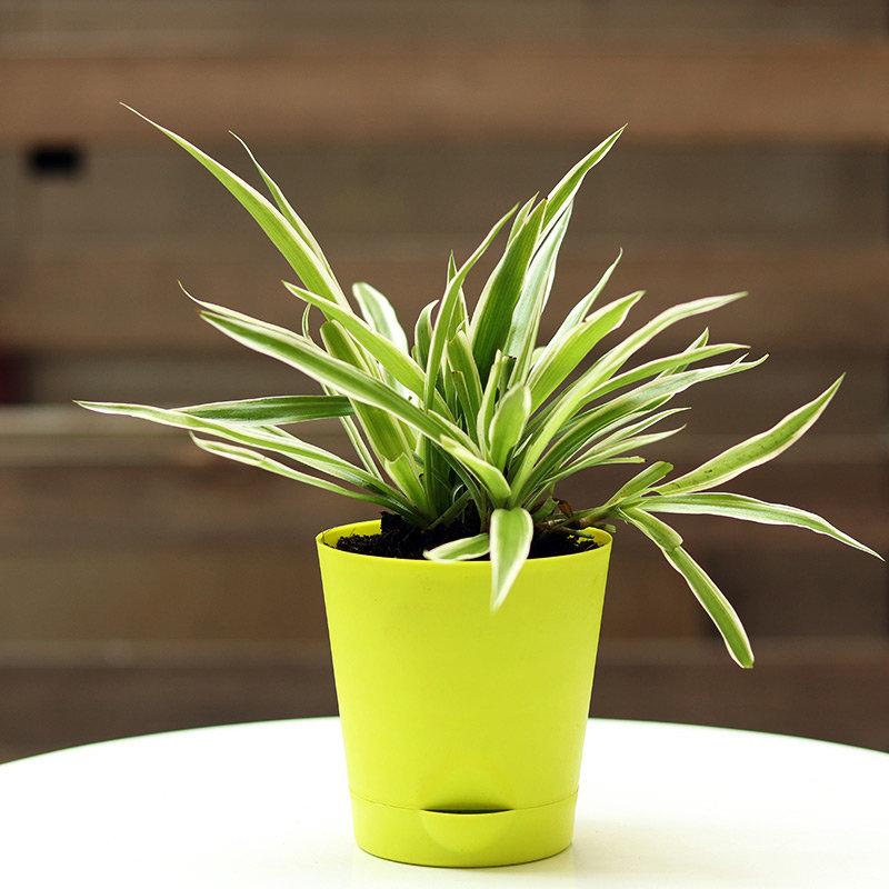 Spider Variegated Plant