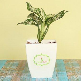 Aglaonema Plant With Signature Pot