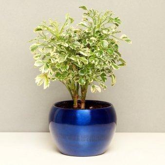 Aeralia Plant Variegated in a Vase