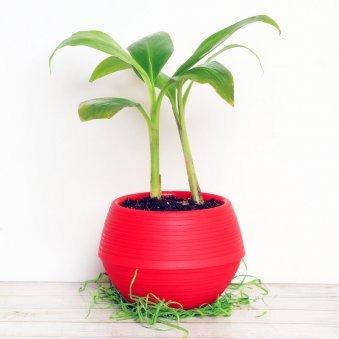 Banana Plant in a Vase