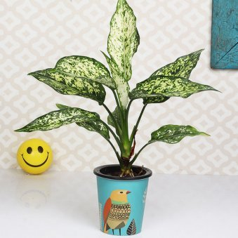 Bird Silver Aglaonema Plant