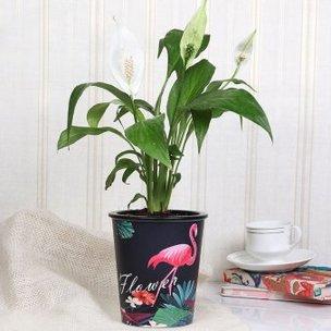 Black Vase Peace Lily