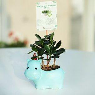 Blue Hippo Ficus