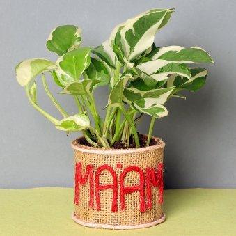 Dracaena Plant for Female Boss