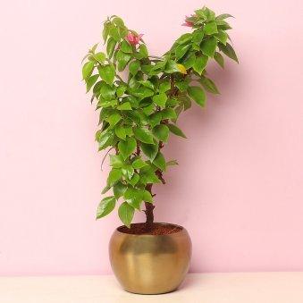 Bouganvillea Flowering Plant