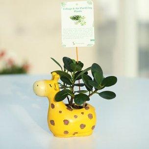 Bright Giraffe Ficus