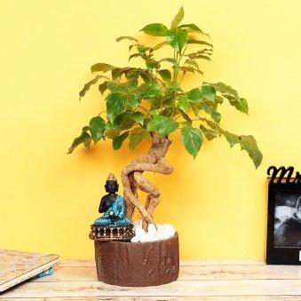 Buddha Radermachera Plant