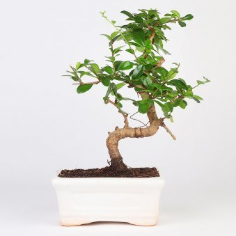 Carmona S shaped Bonsai Plant in a Vase