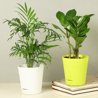 Chamaedorea Zamia Plant Combo