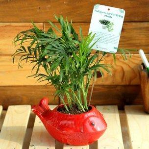 Chamaedorea Fish Vase - Bamboo Plant Indoors in Fish Vase