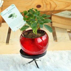 Cooper Umbrella Plant - Foliage Plant Indoors in Orchid Vase