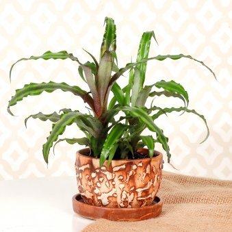 Cryptanthus Plant