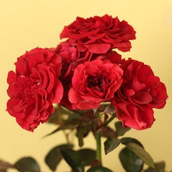 Red Rose Plant for Rose Day Gift