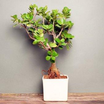 Ficus Iceland Bonsai in White Vase