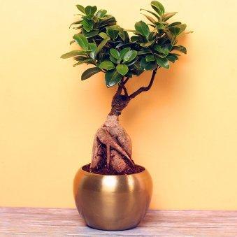 Ficus Microcarpa Bonsai Plant in Metallic Vase