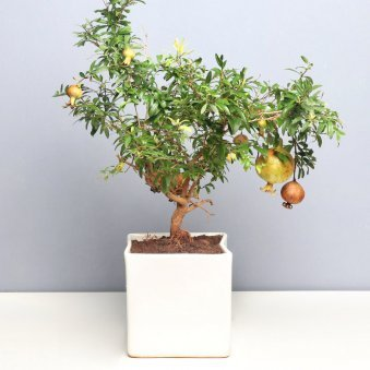 Divine Pomegranate Plant