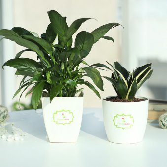Combo of Peace Lily Plant and Snake Plant