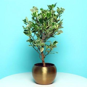 Exotic Ficus Triangularis Plant