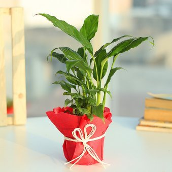 Eye Pleasing Peace Lily - Air Purifying Plant Indoors in Plastic Standard Vase