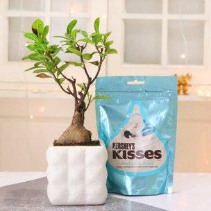 Ficus Bonsai Plant With Hersheys Kisses Chocolate