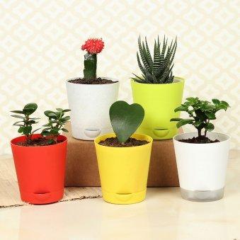 Ficus Haworthia Red Moon Cactus Trio