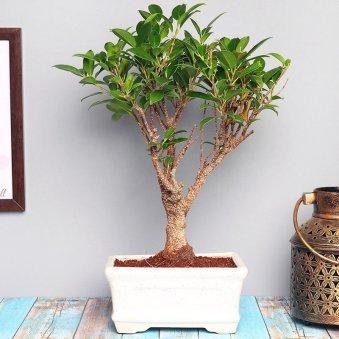 Ficus I Shape Bonsai