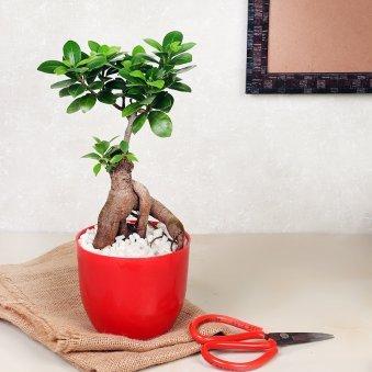 Ficus Microcarpa Plant