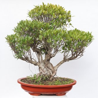 29 Year Old Ficus Nuda Bonsai With Tray