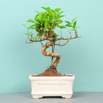 Ficus S Shape Bonsai Plant