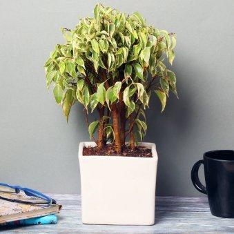 Ficus Starlight Dwarf Bonsai Plant in a Vase