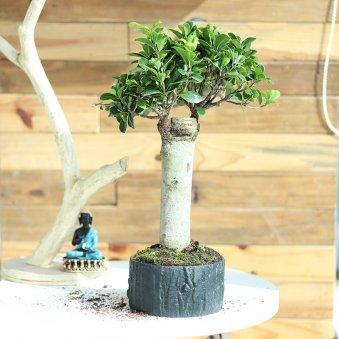 Ficus Trunk Bonsai - Bonsai Plant Outdoors in Bonsai Round Tray