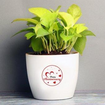 Good Luck Anniversary Plant - Good Luck Plant Indoors in Floweraura Rhonda Vase