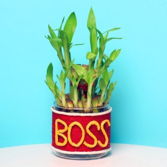 Bamboo Plant for Sir