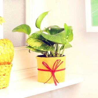 Money Plant in a Vase Wrapped with Yellow Paper