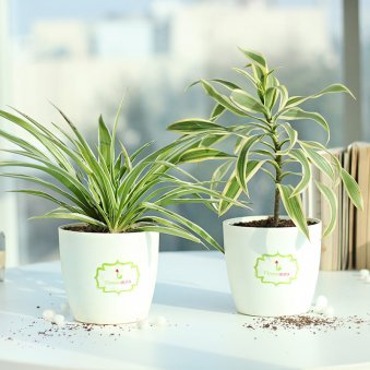 Combo of Spider Plant and Song of India Plant