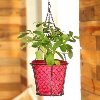 Hanging Saplera Basket - Foliage Plant Indoors in Hanging Bucket
